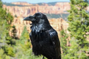 Shiregreen_50days_Raven_BryceCanyon_Utah